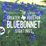 Top Greater Houston Bluebonnet Sightings