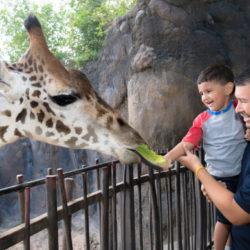 Giraffe Feeding-0095-4117_courtesy Houston Zoo