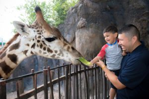 Giraffe Feeding-0095-4117_courtesy Houston Zoo
