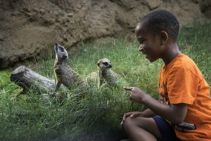 Guest _ Meerkat-0001-5207_courtesy Houston Zoo
