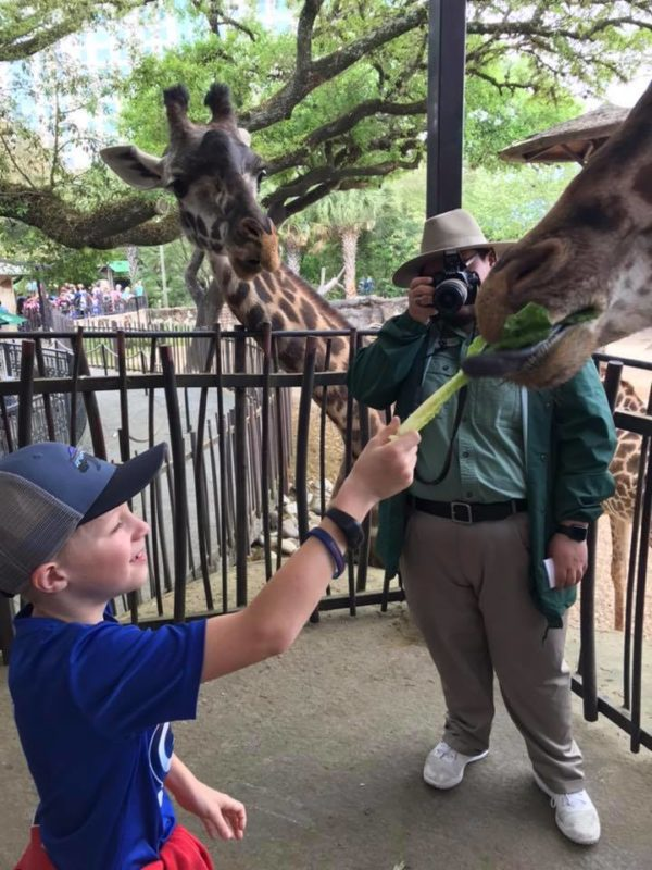 zoo feeding giraffe