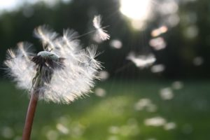 Winds of change with dandelion