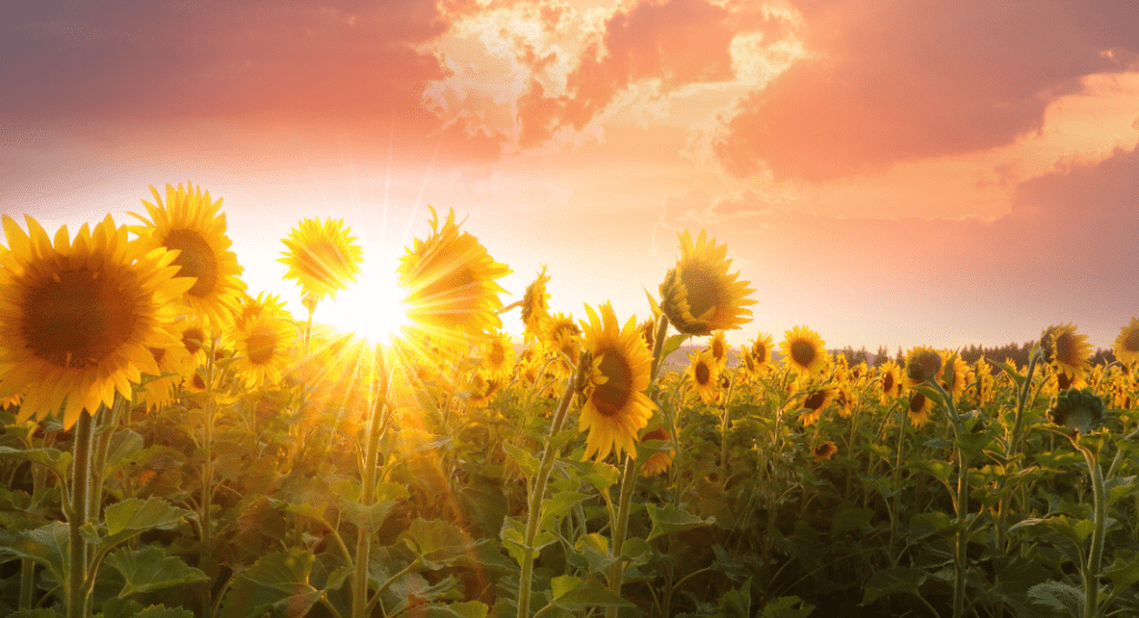 Sunflower field with sun shining through
